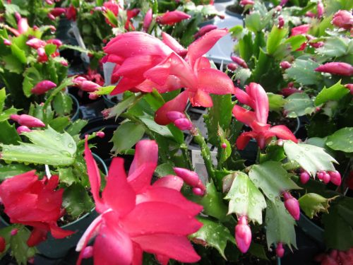Tips to Grow and Care for Christmas Cactus