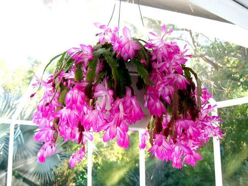 Tips to Grow and Care For Christmas Cactus When Its Blooming