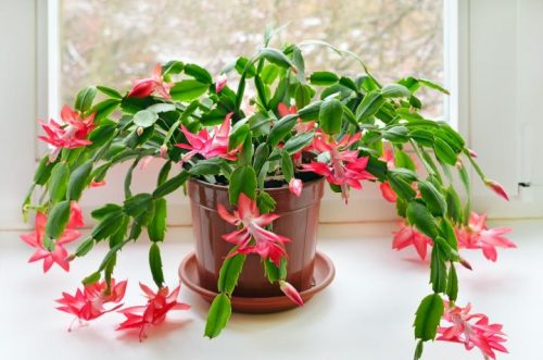 Choosing the Right Location to Grow and Care for Christmas Cactus